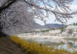 봄의 전령, 벚꽃으로 북천을 수놓다